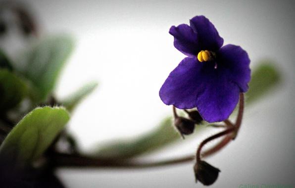 Фото обои фиалка, красиво, листья, фиолетовый