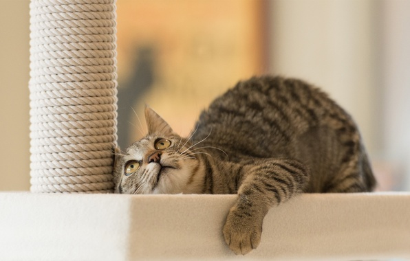 Картинка кот, игра, внимание, смотрит, котэ, лежа