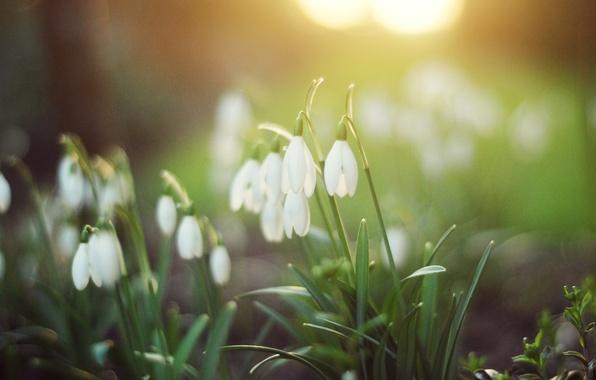 Картинка зелень, лес, трава, свет, цветы, природа, весна, подснежники, белые