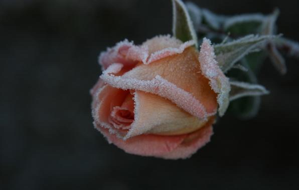 Картинка холод, иней, цветок, макро, цветы, природа, фон, обои, роза, растение, сад, мороз