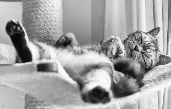 Картинка кот, сон, чёрно-белая, британец, Британская короткошёрстная, спящий