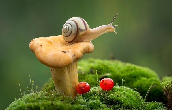 Картинка макро, ягоды, гриб, мох, улитка, лисичка