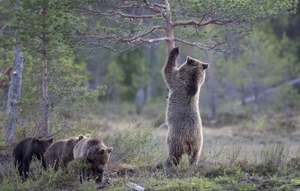 Обои рабочий стол медвежата