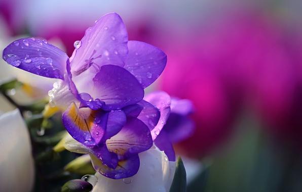 Картинка цветок, вода, капли, природа, flower, nature, water, drops, фрезия, tender, Li Feng, Purple Freesia