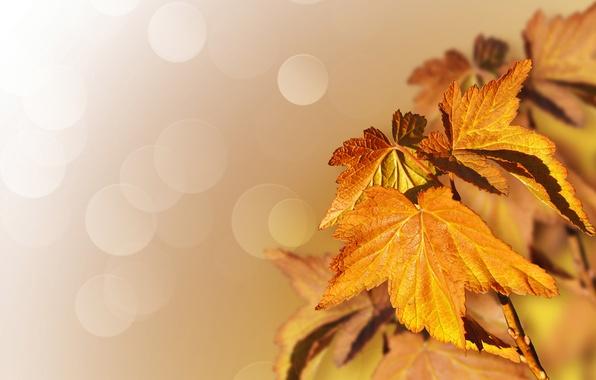 Картинка осень, листья, природа, дерево, клён, боке, Larisa Koshkina