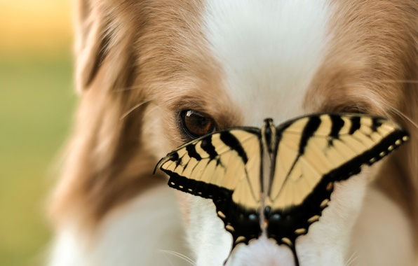 Картинка животные, морда, фон, widescreen, обои, бабочка, собака, размытие, пес, насекомое, wallpaper, широкоформатные, dog, butterfly, background, …