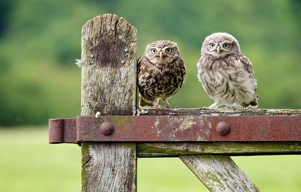 Картинка птицы, совы, птенец, сычи