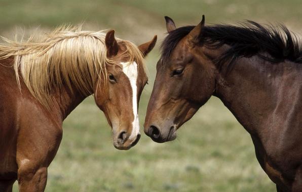 Картинка морда, конь, белое, лошадь, голова, лошади, пара, окрас, масть, пятно, гривы, каурый, отметина