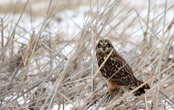 Картинка зима, трава, снег, сова, птица, сухая
