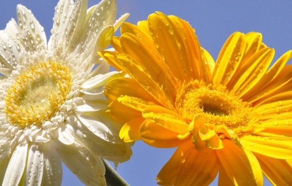 Картинка небо, капли, цветы, роса, лепестки, герберы