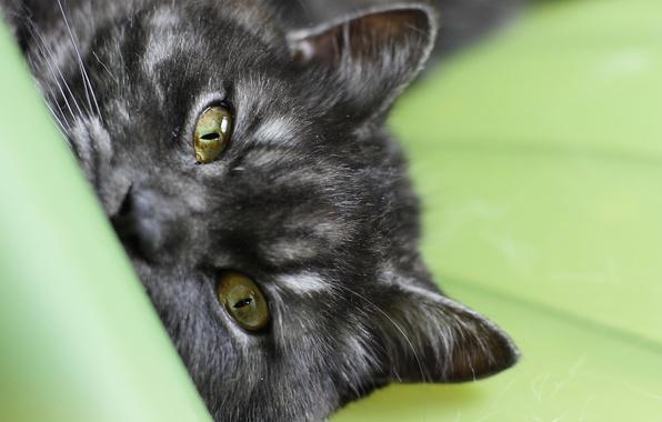 Картинка кошка, глаза, кот, макро, черный, полосатый, cat, macro