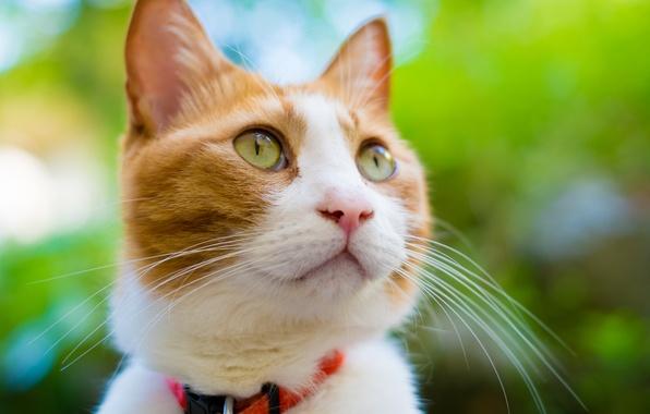 Фото обои кошка, кот, морда, рыжий, мордочка, ошейник