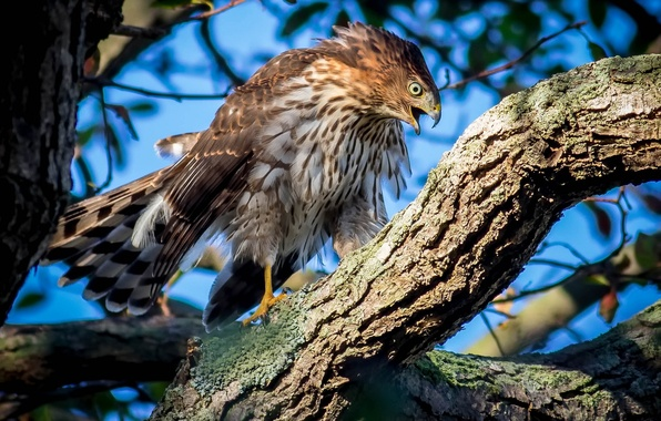 Картинка дерево, птица, ястреб, Ястреб Купера