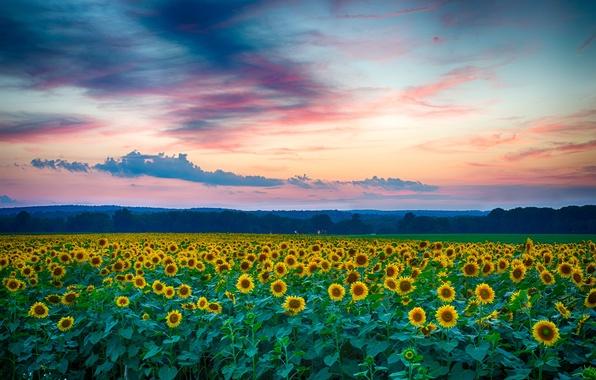 Картинка поле, лето, облака, пейзаж, закат, природа, вечер, Подсолнухи