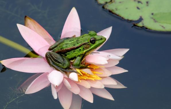 Картинка цветок, вода, природа, лист, лягушка