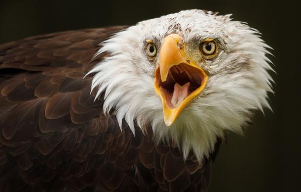 Картинка фон, птица, орёл