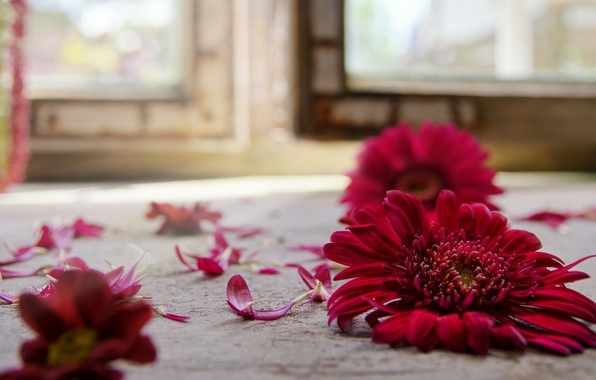 Картинка цветок, красный, на полу, гербера