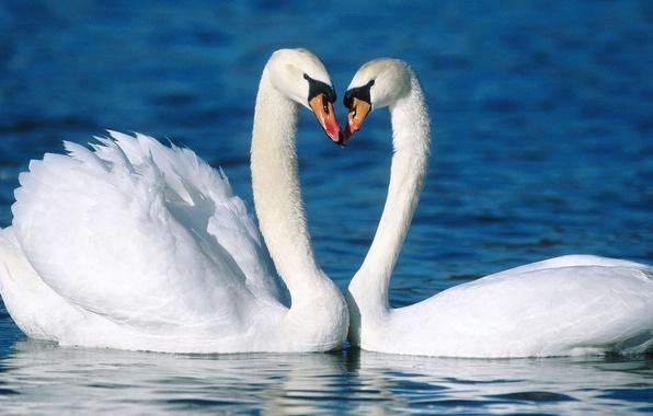 Картинка вода, любовь, птицы, верность, пара, лебедь, лебеди, красивые