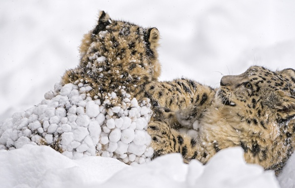 Картинка снег, игра, хищники, борьба, семья, дикие кошки, парочка, снежные барсы