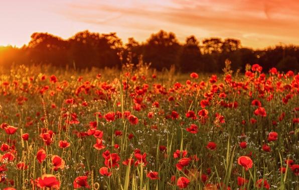 Картинка поле, лето, закат, цветы, природа, Англия, маки, Великобритания