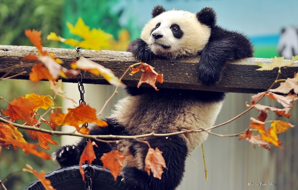 Картинка осень, листья, ветки, животное, китай, медведь, панда, зверь