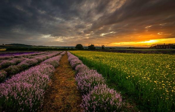 Картинка поле, закат, цветы, природа, Англия, вечер, Великобритания, лаванда, Хэмпшир