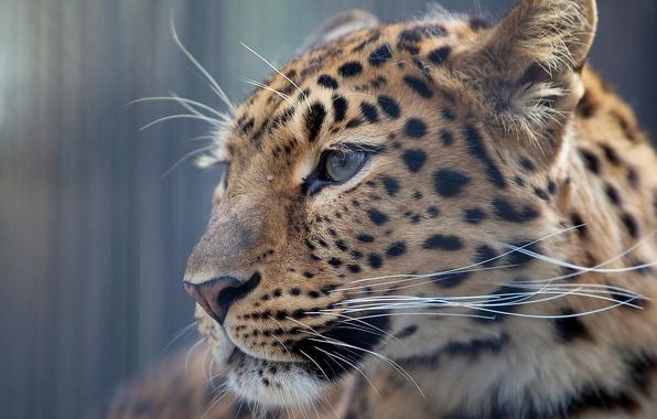 Картинка усы, взгляд, морда, фон, обои, леопард, профиль