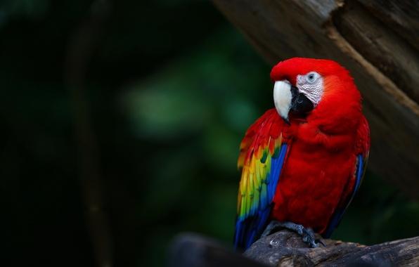 Картинка цвета, птица, перья, клюв, попугай, ярко, parrot, colours, ара, ara