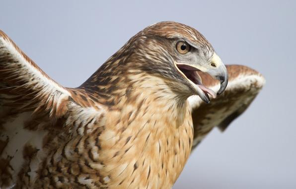 Картинка птица, крылья, хищник, голова, клюв, ястреб