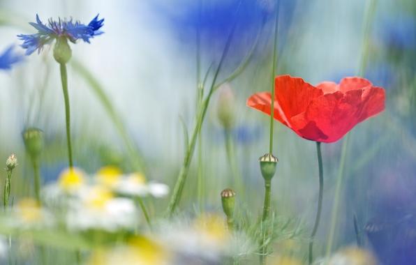 Картинка поле, макро, цветы, ромашки, размытость, Мак, полевые, васильки