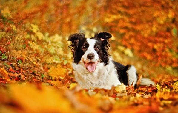 Картинка осень, листья, собака, боке, Бордер-колли