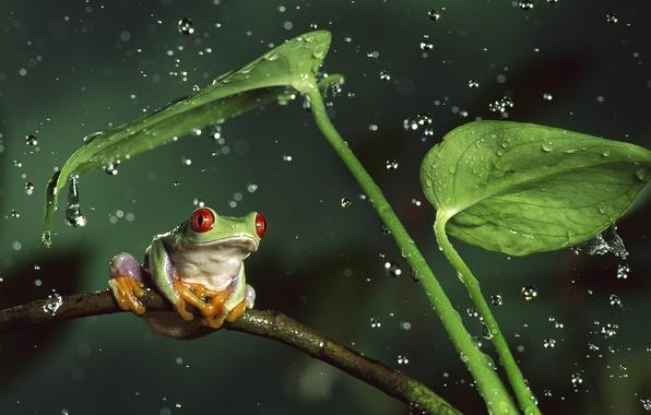 Картинка животные, листья, вода, капли, брызги, природа, стебли, лягушка, animals