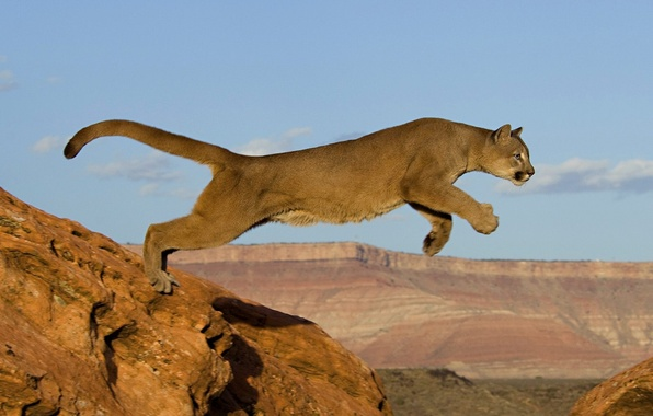 Картинка кошка, скалы, прыжок, хищник, африка, пума