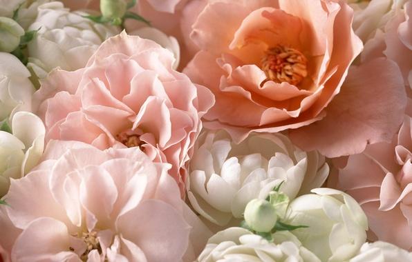 Картинка макро, розовый, розы, лепестки, чайная роза