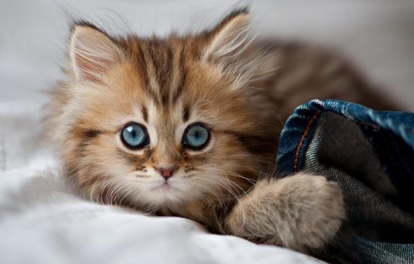 Картинка кошка, глаза, eyes, cat, blue eyes, kitty, cute, paws