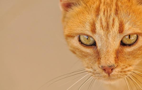 Картинка кошка, глаза, кот, усы, взгляд, портрет, мордочка, рыжая, рыжий кот