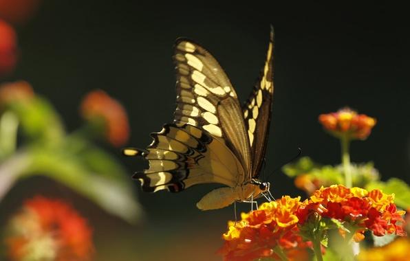Картинка цветок, макро, бабочка, растение, насекомое, мотылек