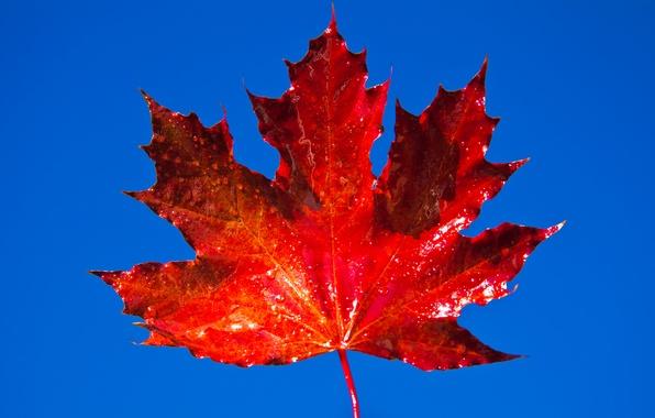 Картинка осень, небо, лист, клен