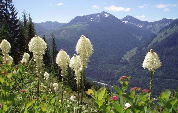 Картинка лес, цветы, горы, Washington State, Moon flowers on Bear Grass, Snoqualmie Mountains