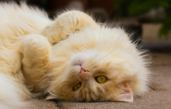Картинка кот, взгляд, лапочка, рыжий кот, котейка