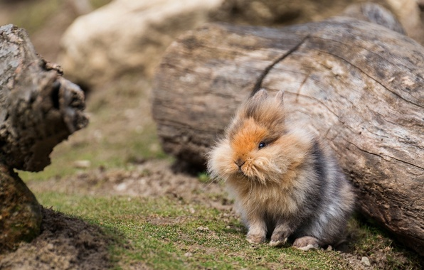 Картинка пушистый, кролик, бревно