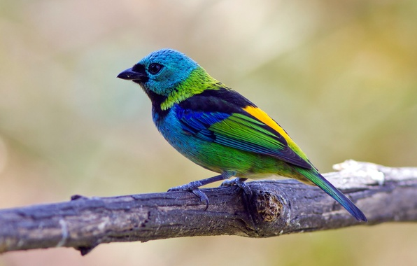 Фото обои птица, цвет, ветка, перья