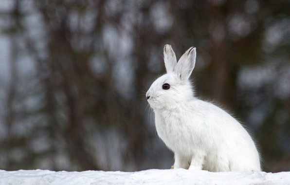 Картинка зима, белый, снег, фон, заяц, размытость