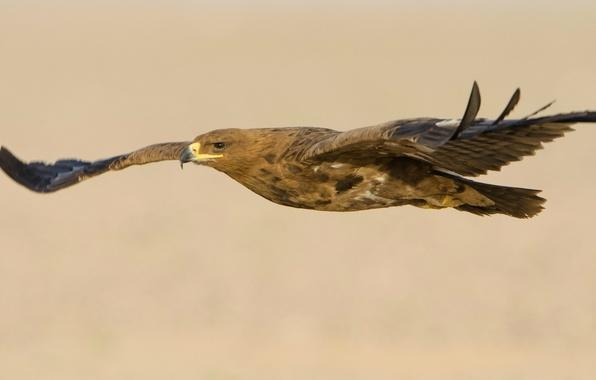 Картинка полет, птица, крылья, хищник, взмах, Степной орел