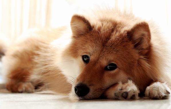 Картинка взгляд, морда, собака, лапы, лежит