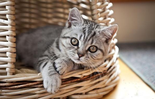 Картинка взгляд, котенок, корзина