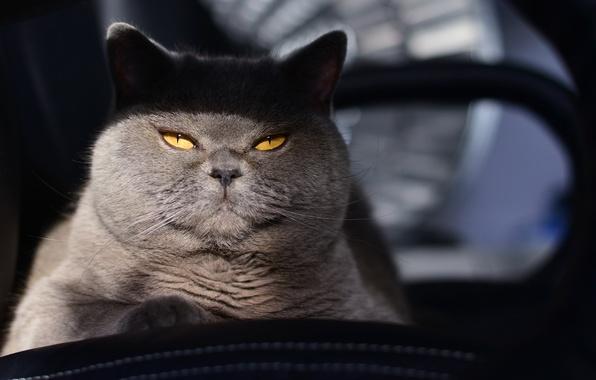 Картинка кот, взгляд, фон, кошак, котяра, котэ