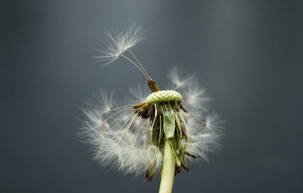 Фото обои одуванчик, ветер, цветок