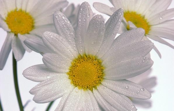 Картинка Ромашки, три, белый фон