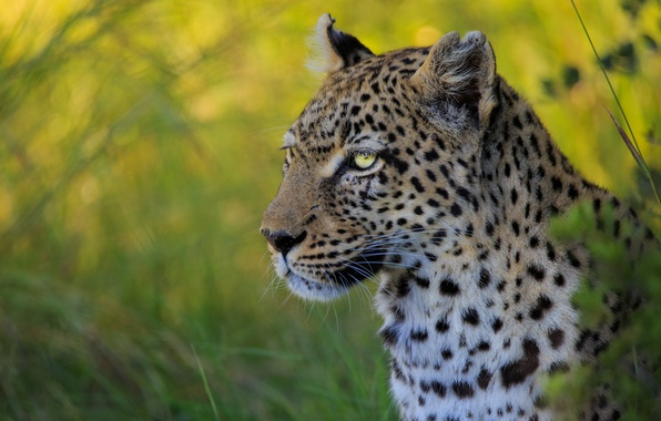 Картинка морда, портрет, леопард, дикая кошка, боке